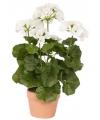 Neppe witte Geranium plant 35 cm